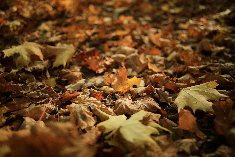 Autumn texture of yellow fallen leaves